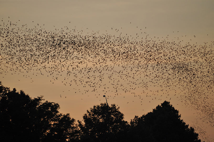 Name:  bats-in-trees-at-sunset.jpg Views: 314 Size:  126.8 KB
