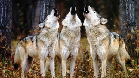 Name:  WolfPack_Howling.jpg