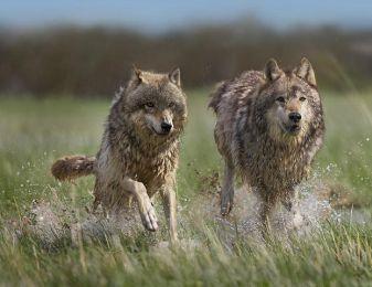Name:  WolfPack_Running.jpg Views: 2792 Size:  17.5 KB