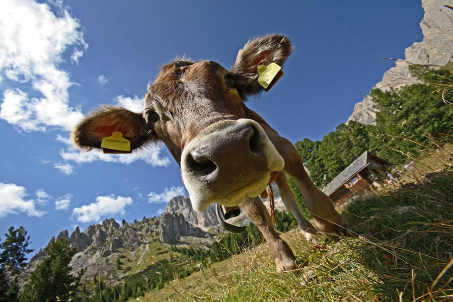 Name:  sella   cow   1980431_746315755414358_8048374449647537937_o.jpg Views: 116 Size:  167.0 KB